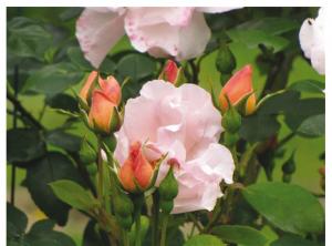 festival-de-la-rose-au-chateau-saint-andre-en-vendee-mareuil-roses-roses